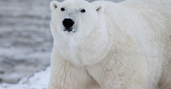 pixabay polar bear